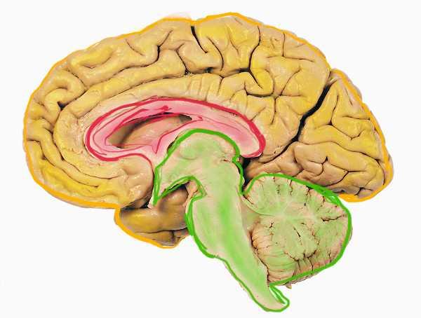 cervello rettiliano primordiale